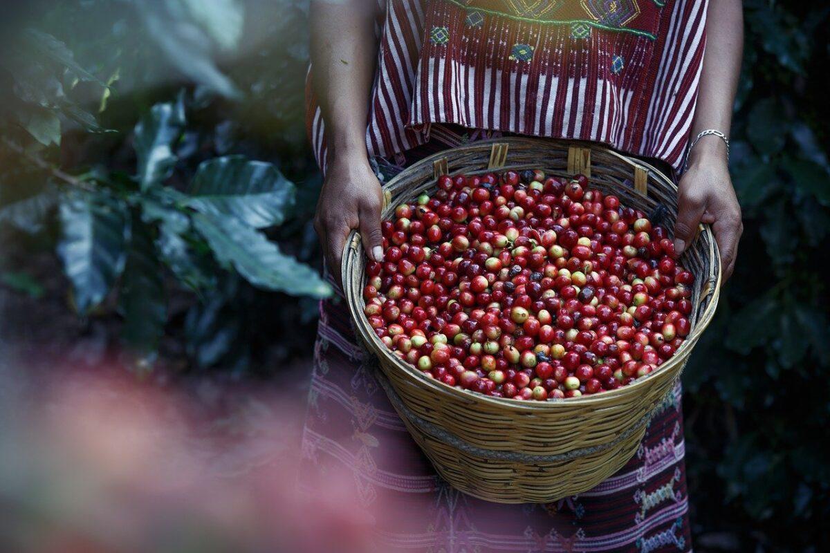 Nesta segunda-feira (24) é comemorado o Dia Nacional do Café, uma das bebidas mais consumidas entre os brasileiros e de grande impacto econômico para o país.